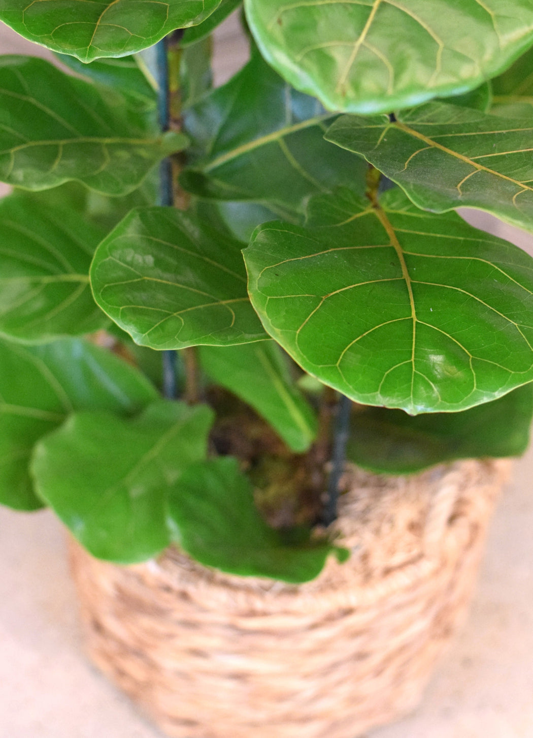 FIDDLE FIG TREE