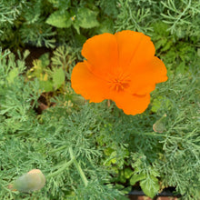 Load image into Gallery viewer, California Poppy Tincture - sleep & pain support