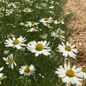 Chamomile Tincture - digestive & soothing stress support