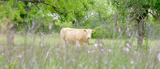 Happy cow for Texas Tallow, a sustainable skincare option using meat production waste products.