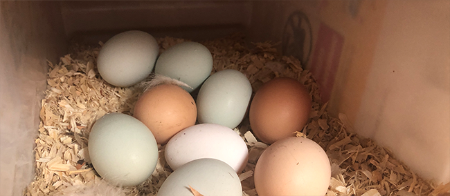 Backyard chickens, fresh eggs, covid19 grocery shortage, live sustainably