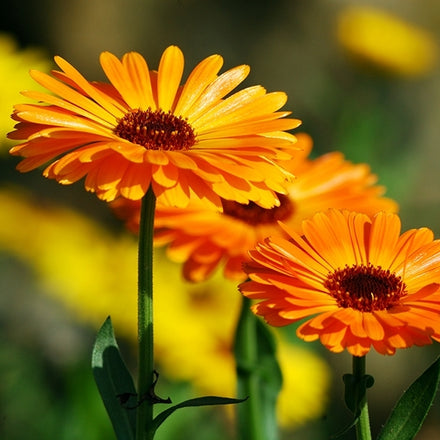 Natural Wound healing with Medicinal Plants - Calendula