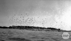 Large Group of Sea Gulls  Flying  off of Trott Island Kennebunkport, Maine