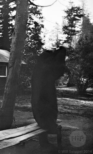 Pet Bear Back Facing Camera as he Enjoys an Afternoon Snack, Possibly California