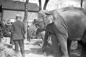 Circus Elephants Eating Hay in Front of Bystanders