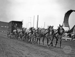 Percheron Team Pulling Wagon on Sheepshead Racetrack on Coney Island Past the loop the loop
