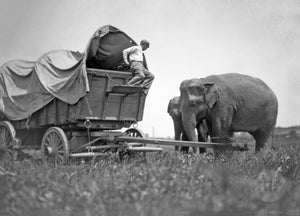 Overland Conestoga Wagon with Two Asiatic Female Elephants