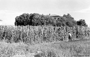 Worker Tending to Fields with Mission-Style House Peeking from Behind the Trees, WWII Italy