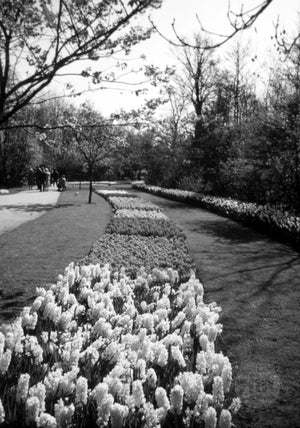 Stream of Various Tulips Arranged in a Beautiful Garden Park in Holland
