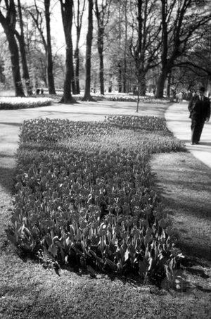 Small Flower Bed of Tulips along a Park Walkway in Holland