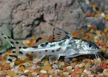 Load image into Gallery viewer, PICTUS CATFISH 2""