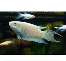 Load image into Gallery viewer, 3 PACK ALBINO PARADISE GOURAMI 2""
