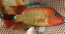 "Load image into Gallery viewer, TRUE RED TERROR CICHLID 2.5""  UNSEXED"