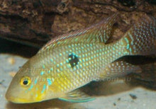 Load image into Gallery viewer, GEOPHAGUS BRASILIENSIS CICHLID 1.5""