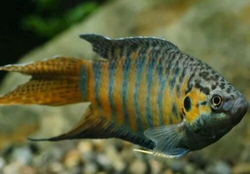 3 PACK BLUE PARADISE GOURAMI 3 TO 3.5