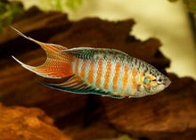 Load image into Gallery viewer, 10 PACK BLUE PARADISE GOURAMI 1.5""