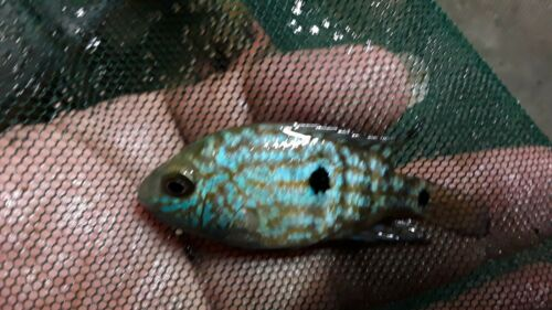 3 x ELECTRIC BLUE CARPINTIS CICHLID 1.5