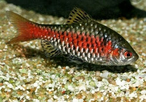 9 PACK ODESSA BARB TROPICAL FISH  ALL MALE