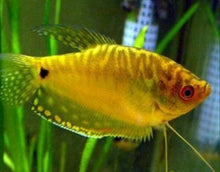 Load image into Gallery viewer, 3 PACK GOLD GOURAMI LARGE""