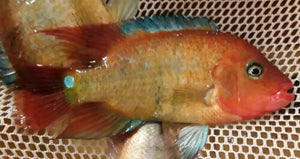 TRUE RED TERROR CICHLID 1""