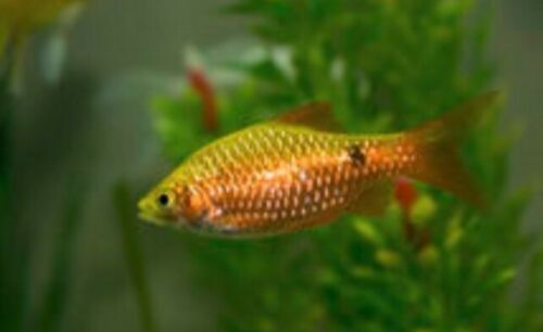 5 GOLD NEON ROSY BARB TROPICAL FISH