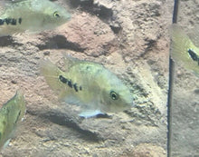 "Load image into Gallery viewer, SYNSPILUM CICHLID 1.75 TO 2"" (VIEJA MELANURA - QUETZAL CICHILD)"