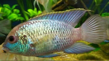 Load image into Gallery viewer, 3 SOUTH AMERICAN CICHLIDS RED HEAD TAPAJOS+ ELECT BLUE ACARA+ GEOPH BRASILIENSIS