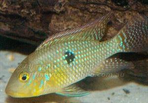 3 SOUTH AMERICAN CICHLIDS RED HEAD TAPAJOS+ ELECT BLUE ACARA+ GEOPH BRASILIENSIS