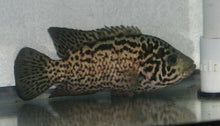 Load image into Gallery viewer, CUBAN CICHLID 1.5""