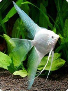 BEAUTIFUL PLATINUM VEIL TAIL ANGELFISH