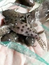 Load image into Gallery viewer, SYNODONTIS OCELLIFER 1.00""