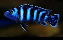 Load image into Gallery viewer, PSEUDOTROPHEUS DEMASONI AFRICAN CICHLID 1.5""