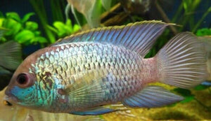 AMAZING ELECTRIC BLUE ACARA CICHLID 4""