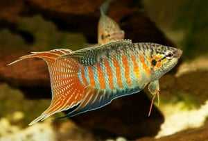 7 ALL MALE BLUE PARADISE GOURAMI 3""