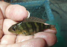 "Load image into Gallery viewer, GEOPHAGUS RED HEAD TAPAJOS 1.5"" RARE"