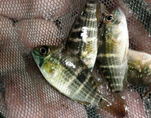 Load image into Gallery viewer, 5 BEAUTIFUL GREEN TERROR CICHLID 1.5""