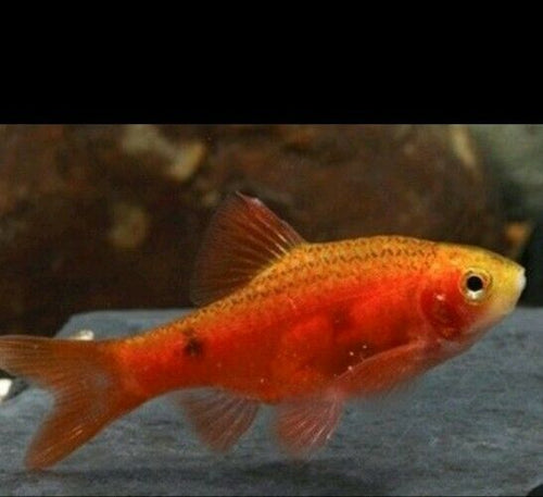 6 PACK RED GLASS ROSY BARB TROPICAL FISH
