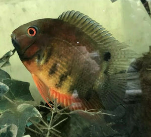 3 PACK RAINBOW SEVERUM CICHLID 1