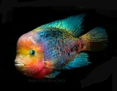 SYNSPILUM CICHLID 1.75 TO 2