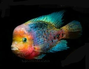 BLACK FRIDAY DEAL BUY ONE GET ONE FREE!!! SYNSPILUM CICHLID 1.75 TO 2