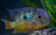 Load image into Gallery viewer, 2 x GYMNOGEOPHAGUS BALZANI CICHLIDS 2""
