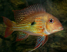 Load image into Gallery viewer, GEOPHAGUS ALTIFRON CICHLID 1.5""
