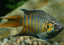 Load image into Gallery viewer, 7 ALL MALE BLUE PARADISE GOURAMI 3""
