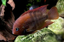 Load image into Gallery viewer, SAJICA T-BAR CICHLID 3/4""