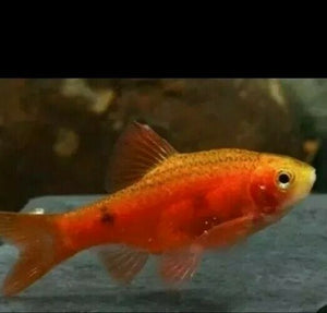 4 PACK RED GLASS ROSY BARB TROPICAL FISH