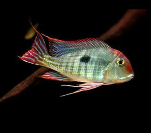 "SPECTACULAR GEOPHAGUS RED HEAD TAPAJOS 3"" RARE"