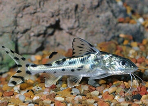 PICTUS CATFISH 2