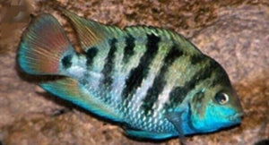 3 PACK HONDURAN RED POINT CICHLID 1.5