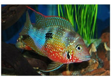 "Load image into Gallery viewer, THORICHTHYS AUREUS CENTRAL AMERICAN CICHLID 2.5"" + RAINBOW CICHLID 2.5"""