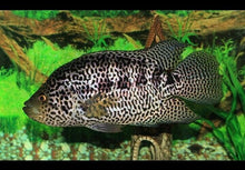 Load image into Gallery viewer, 3 CENTRAL AMERICAN CICHLIDS: SYNSPILUM+ E.B. CARPINTIS + MANAGUENSE